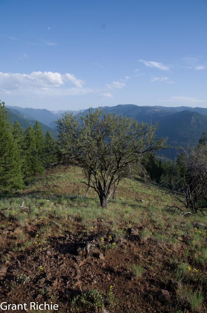 Mountain Mahogany Cercocarpus ledifolius