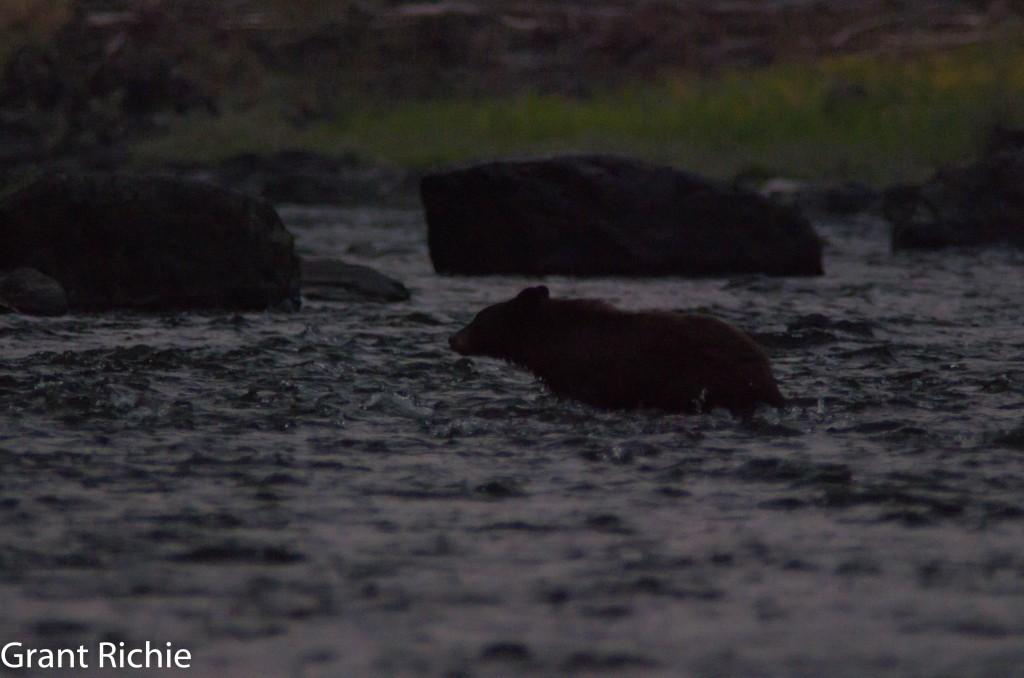 black bear Grande Ronde River