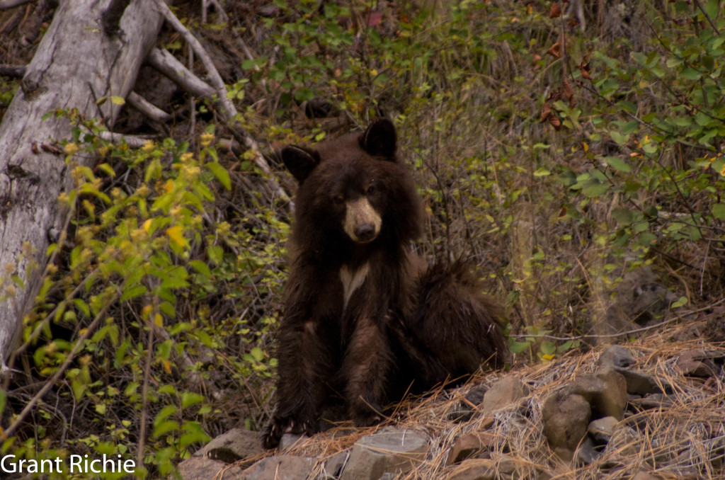 Black bear beside the Grande Ronde
