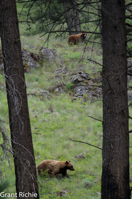 two bears on Swamp Creek